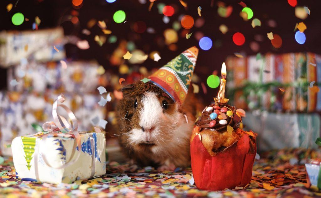 Meerschweinchen mit Partyhut, buntes Geschenk, Muffin mit Kerze