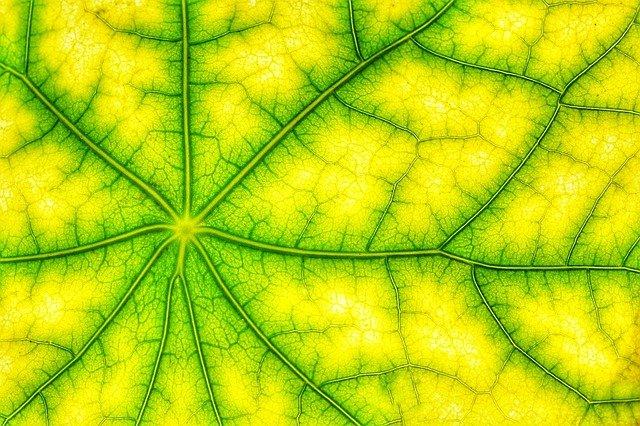 Nahaufnahme eines gelben Blattes mit grünen Adern